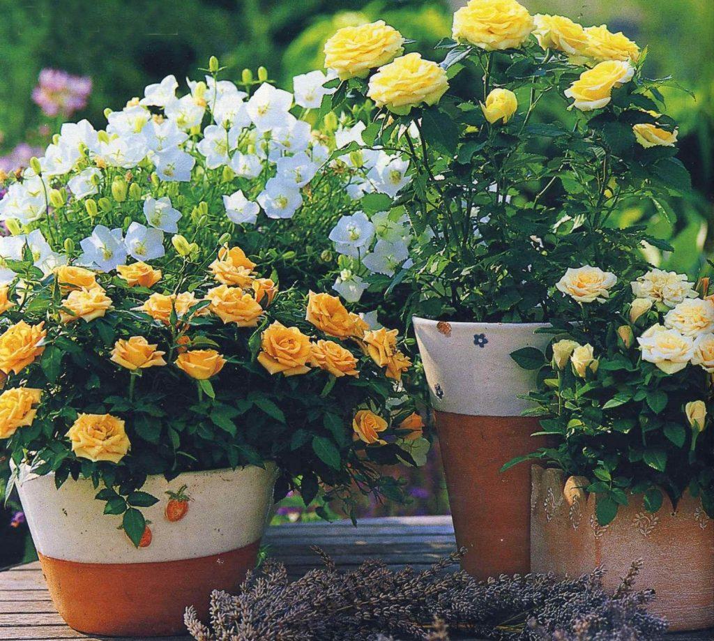 Самое интенсивное в отношении поливов время - цветение роз
