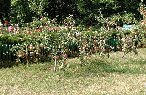 За счет скромных размеров яблонь на карликовом подвое, располагать их можно на близком расстоянии друг от друга