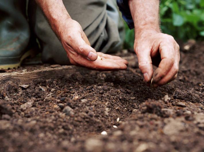 Удобнее всего выкладывать семена в заранее подготовленные ряды
