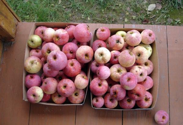 Яблоки сорта Солнышко находят множество применений при готовке