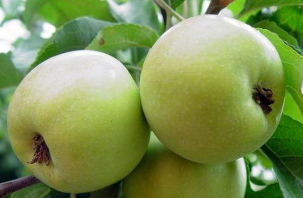 Яблоки сорта Чудное имеют равномерный светло-зеленый окрас
