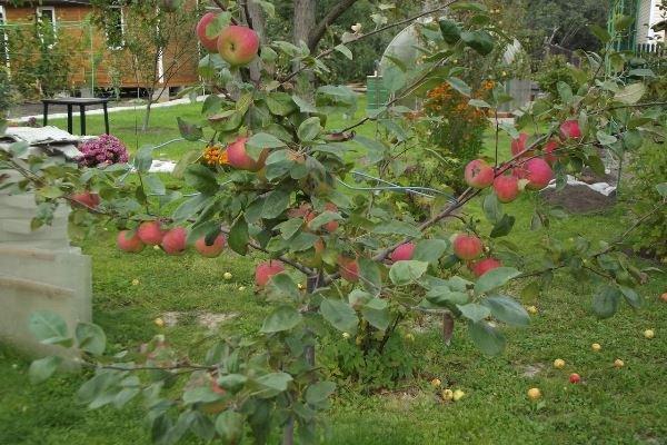Яблони сорта Конфетное приносят урожай ближе к концу лета