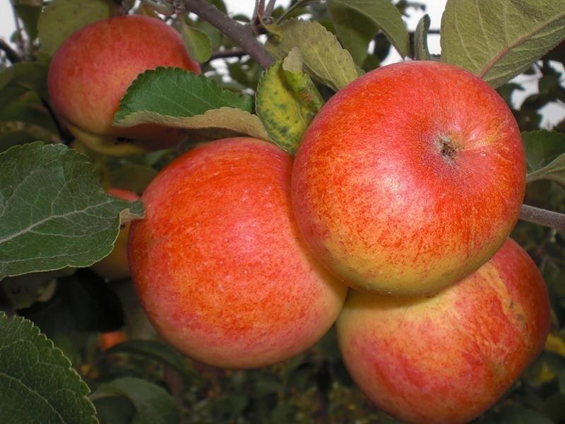 Яблони сорта Солнышко отличаются своими плодами алого оттенка