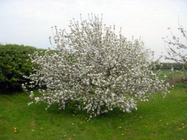 Яблоня в момент цветения