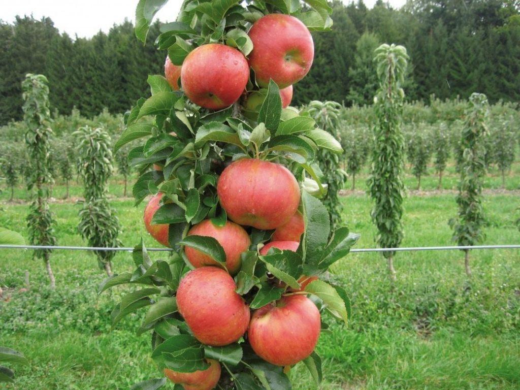 Яблоня сорта Валютное