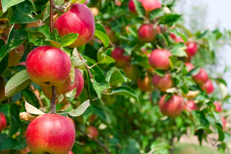 Яблоня сорта Ковровое приносит плоды в первой половине осени