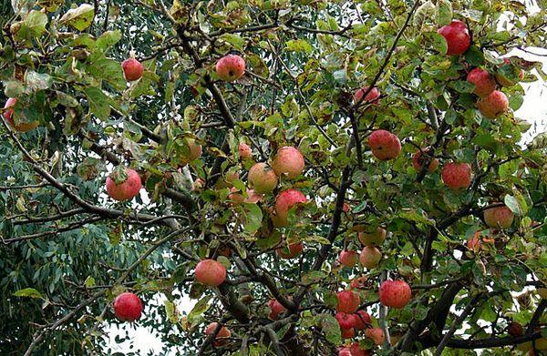 Яблоня сорта Конфетное известна благодаря вкусу своих плодов