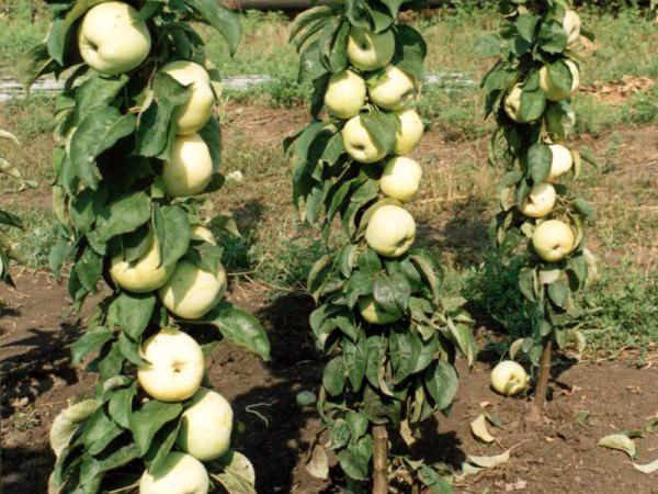 Яблоня сорта Президент