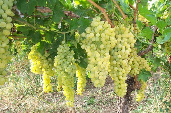Как посадить косточку винограда и получить хороший урожай