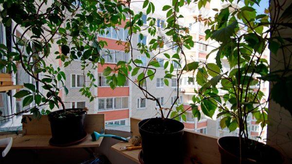 Огромное значение для винограда имеет свет из окна
