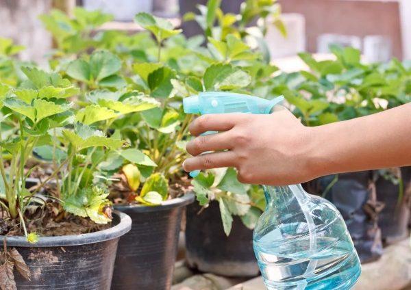 У садоводов есть свои хитрости по выращиванию винограда