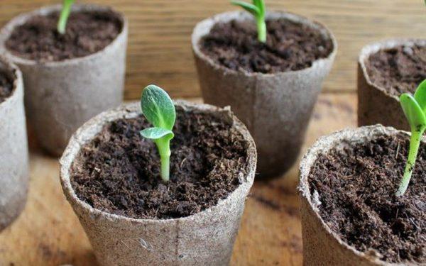 Здоровые растения поливают специальными противогрибковыми растворами, чтобы спасти их