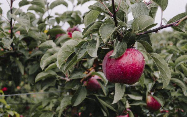 Яблоки, выращенные в домашних условиях