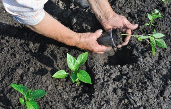 Рассаду перцев «Калифорнийское чудо» помещают на грядку вместе с земляным комком