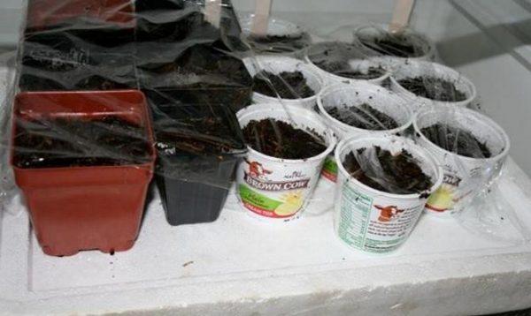 Давайте семенам возможность настояться в тепле до отправления в холодильник