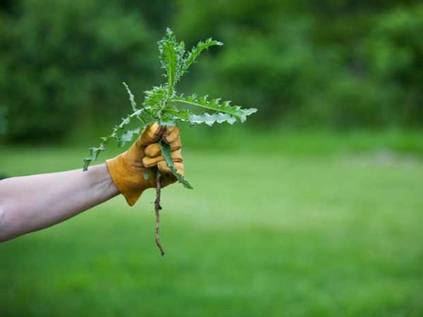 Выдергивайте сорняки