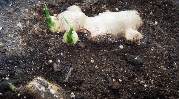 Имбирь растет только на хорошо подготовленной почве