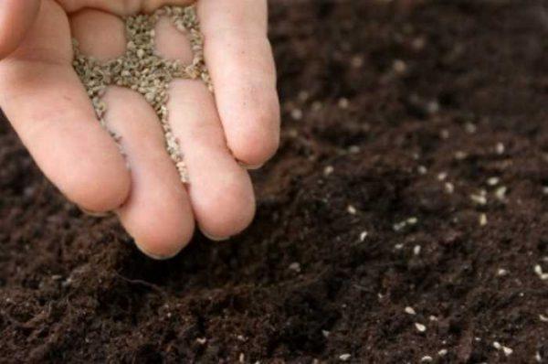Семена бегоний