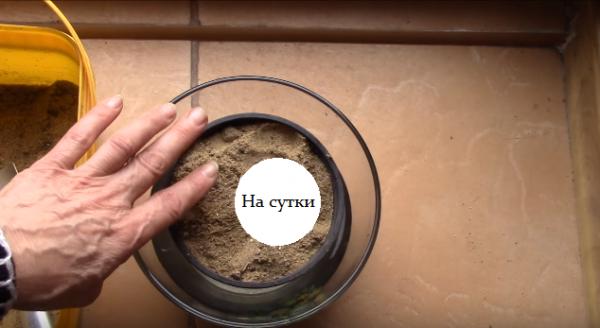 Выращивание имбиря в домашних условиях: правила посадки и ухода