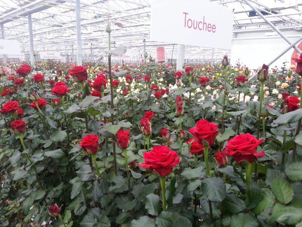 Розы, выращенные в России, хорошо принимаются при правильном уходе
