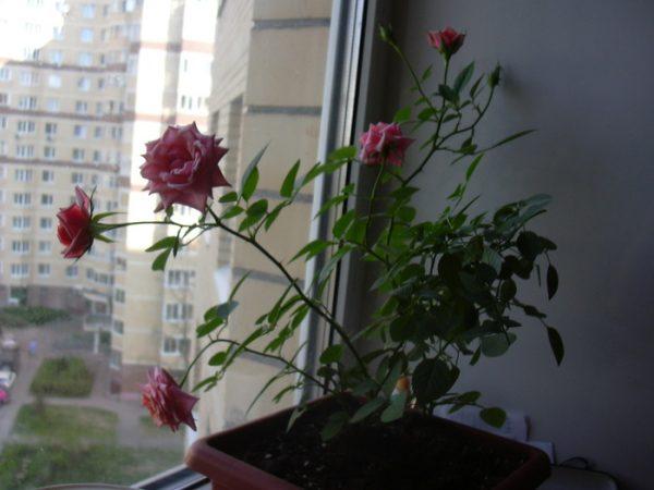 Роза из черенка букета