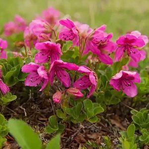 Рододендроны: выращивание и уход за разными сортами
