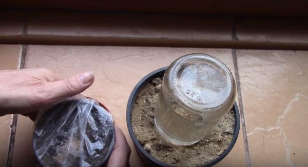 Имбирь можно накрыть банкой или пищевой пленкой