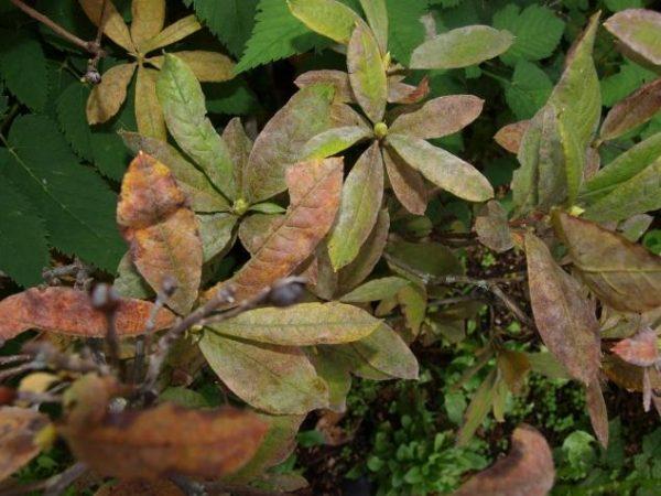 Солнечный ожог листьев рододендрона