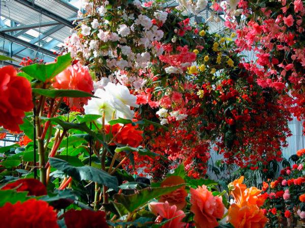 Декор оранжереи бегониями