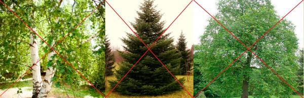 Не садите рододендроны рядом с этими деревьями