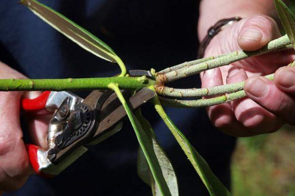 Самый сложный способ - размножение рододендрона черенками