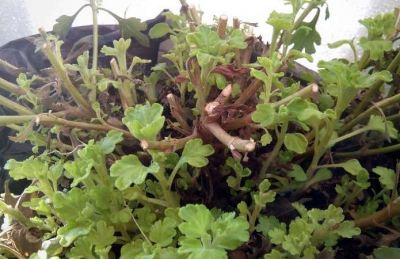 Молодые побеги на маточнике шаровидной хризантемы