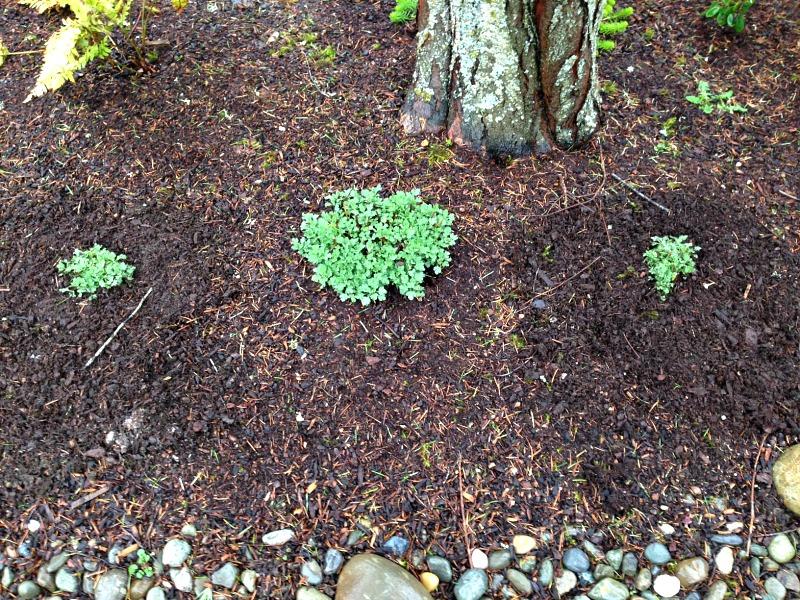 Один маточный куст можно разделить на несколько молодых растений