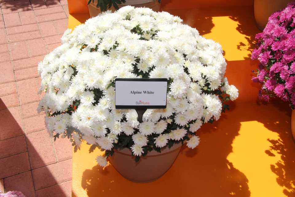 Шаровидная крона - естественна для хризантемы мультифлоры