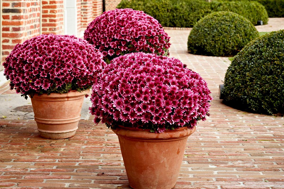 Хризантемы мультифлоры в горшках