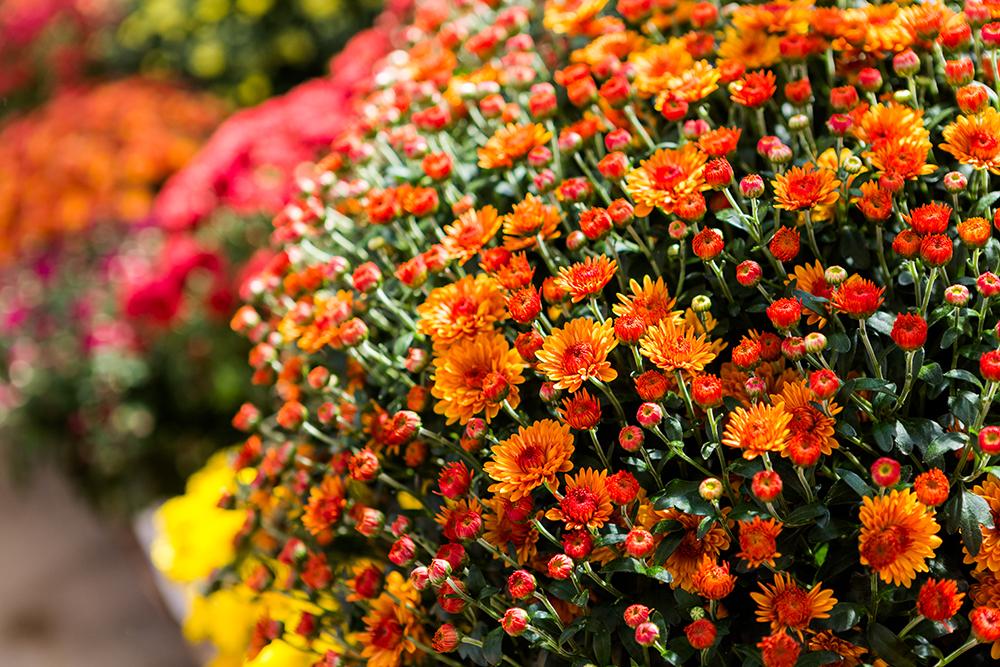 Цветущая шаровидная хризантема