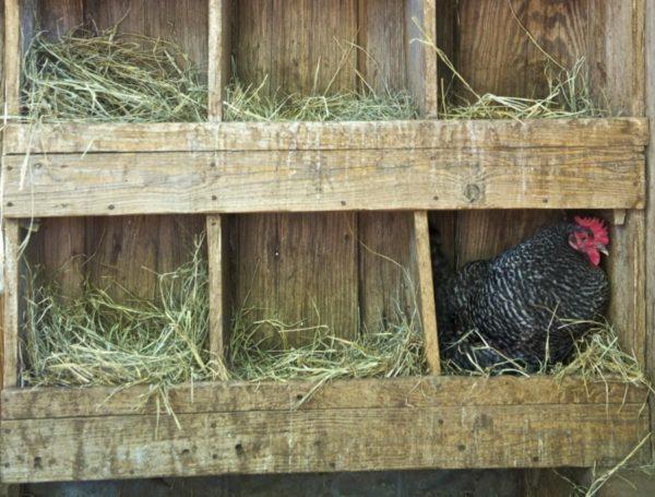 В курятнике необходимо сделать гнезда для несушек