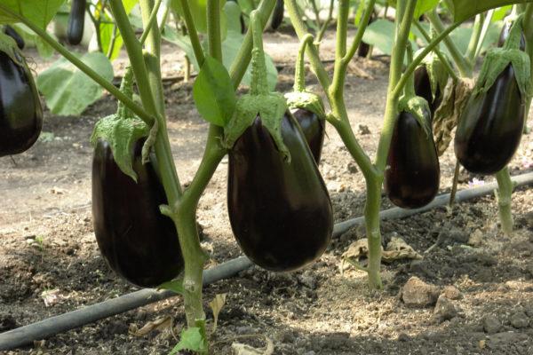 Эпик — популярный среди российских огородников гибрид.