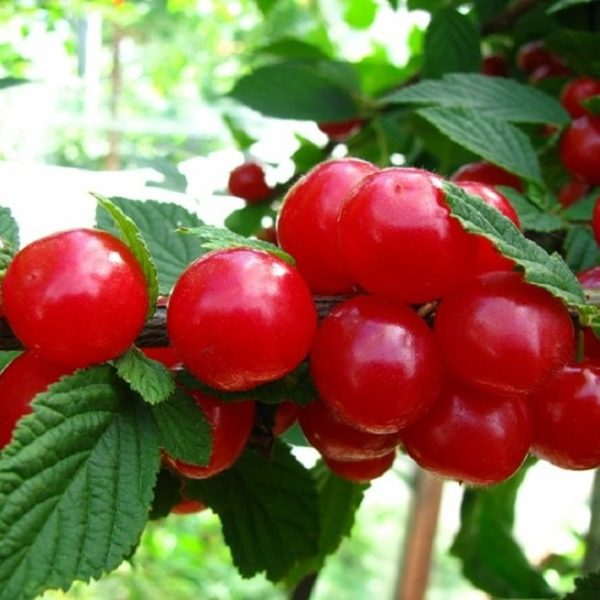 Нежные сладкие плоды