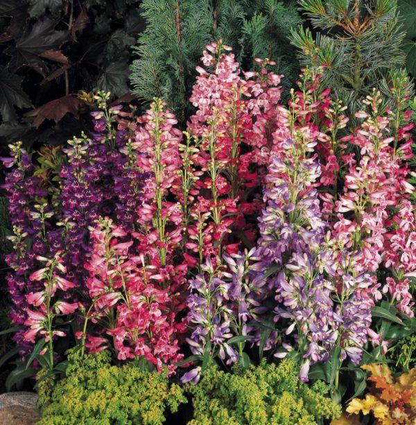 Пенстемон станет достойным украшением осеннего сада.