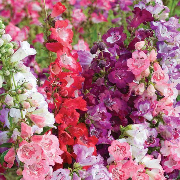Цветки встречаются от белого до фиолетового и алого цветов.