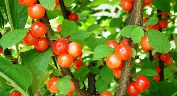 Оригинальная окраска ягод