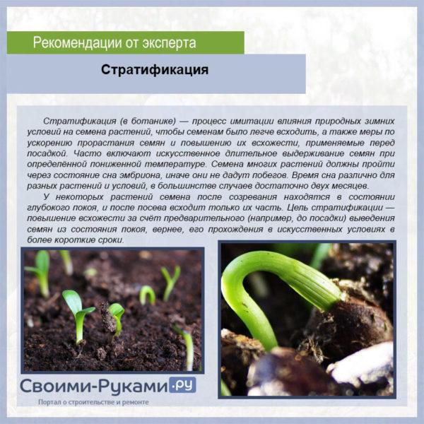 Пенстемон: выращивание из семян