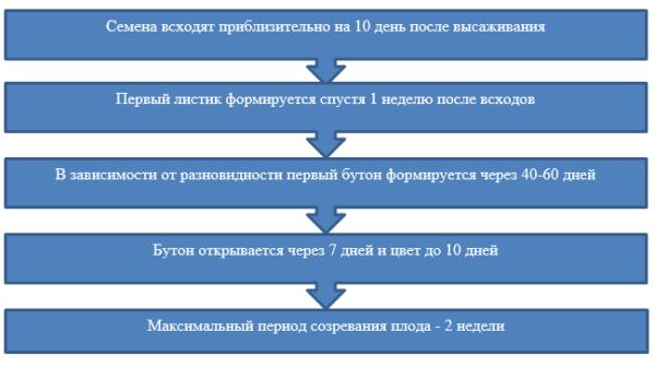 Фазы роста
