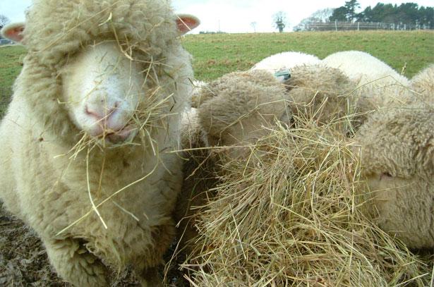 Кормление овцы сеном