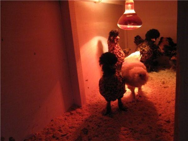 Куры под инфракрасной лампой