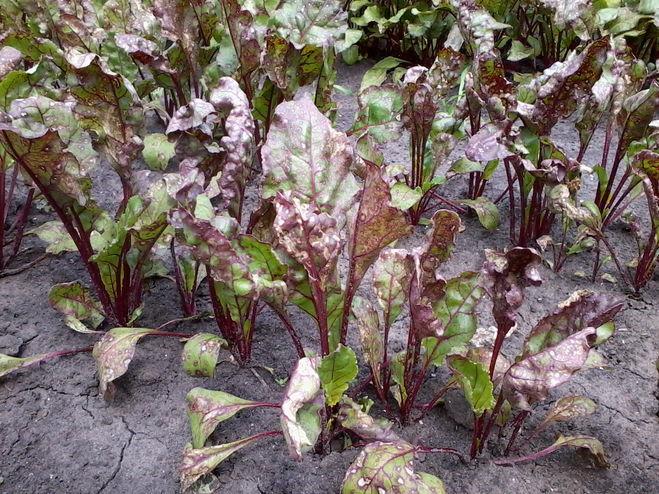 Листья свеклы, пораженные болезнью