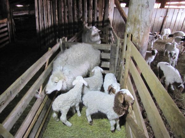 Овцы в сарае