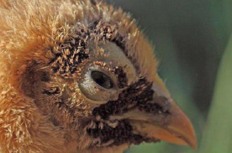 Паразиты на птице