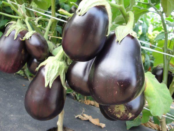 Гибрид Черный красавец отличается красивыми плодами